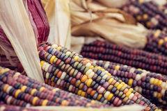 Closeup of Indian Corn in autumn Royalty Free Stock Image
