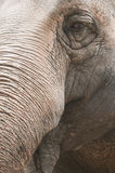 Closeup  of indian elephant Stock Photo