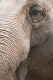 Closeup  of indian elephant Stock Photo