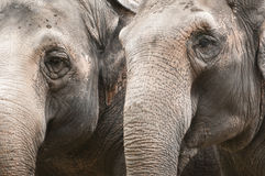 Closeup  of indian elephant Stock Photography