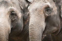 Closeup  of indian elephant Stock Photography