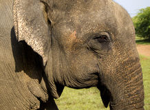 Closeup of an indian elephant Stock Image