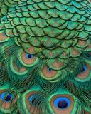 Closeup of Indian peacock tail feathers. Closeup of Indian peacock tail feathers with rich color, detail, and texture stock photography