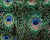 Closeup of Indian peacock tail feathers. Closeup of Indian peacock tail feathers with rich color, detail, and texture stock image