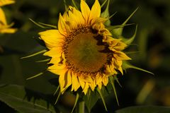 Closeup of individual sunflower in Southern France royalty free stock photography