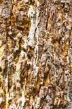 Closeup of infected pine tree trunk Royalty Free Stock Photos