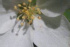 Closeup. Inside the apple tree flower. In the zone of sharpness stamens, pistils and pollen. royalty free stock photo