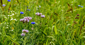 Closeup of an insect friendly field edge with wild plants Stock Images
