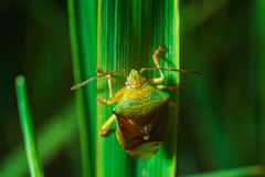 Green insect bug crawling on a green leaf macrophotograph stock photos