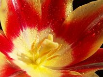 Closeup of the inside of an open red tulip in the rain drops stock images