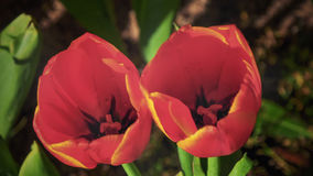 Closeup inside of tulip Royalty Free Stock Photo