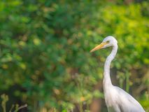 Intermediate Egret (Ardea intermedia) with yellow sunlight and green nature blurred background. Closeup Intermediate Egret (Ardea intermedia) royalty free stock images