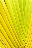 Closeup of the Interwoven Stalks of a Ravenala Palm. Closeup image of the bright green, seemingly braided or interwoven stalks of a ravenala, or traveller's palm Royalty Free Stock Image