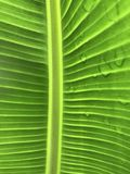 Details of A Banana Leaf  Royalty Free Stock Image