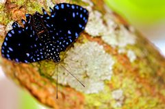 Closeup of iridescent blue butterfly on tree Royalty Free Stock Images