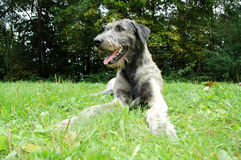 Closeup of Irish Wolfhound Stock Photos