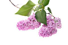 Closeup isolated lilac branch Royalty Free Stock Image