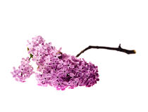 Closeup isolated lilac branch Royalty Free Stock Photo
