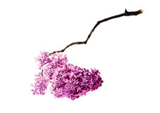 Closeup isolated lilac branch Stock Photos