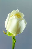 Closeup and isolated rose Royalty Free Stock Images