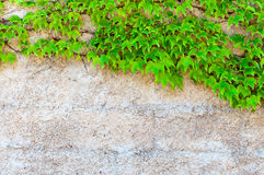 Closeup of ivy with copy space royalty free stock photography