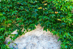 Closeup of ivy with copy space stock images