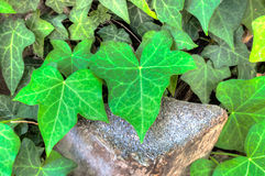 Closeup of ivy leaf in hdr Stock Images