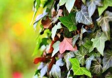 Ivy leaves closeup Stock Photo