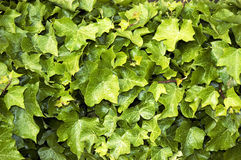 Closeup of ivy vines. A closeup of a wall or large cluster of ivy leaves and vines possibly suitable for a background Stock Photography
