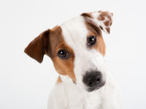 Closeup Jack Russell Terrier. Penetrating glance, no isolated Royalty Free Stock Photos
