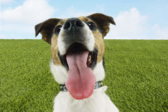 Closeup Of Jack Russell Terrier Panting Royalty Free Stock Photos