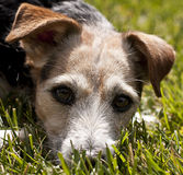 Closeup of jack russell terrier. Closeup of jack russell terriers face nestled into the grass.  Isolated on green grass background and foreground Stock Images