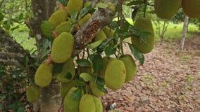 Closeup Jackfruits on Tree Branches in Garden. Closeup loads of jackfruits on tree branches in garden in Vietnam stock video