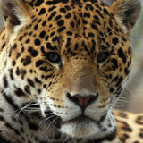 Closeup Of Jaguar. Closeup of a Jaguar's face Stock Photography