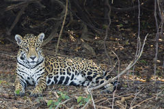 Closeup of Jaguar Lying on Leaf Litter in Jungle Royalty Free Stock Photography