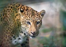 Closeup jaguar portrait Royalty Free Stock Photography
