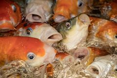 Japanese Koi carps stock photography