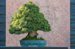 japanese maple bonsai in a japanese garden royalty free stock images