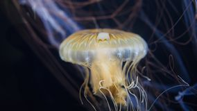 Closeup of jellyfish swimming with illuminated body royalty free stock photos