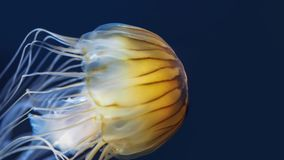 Closeup of jellyfish swimming with illuminated body royalty free stock photo