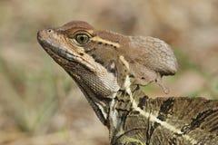 Closeup of a Jesus Christ Lizard - Panama Stock Image