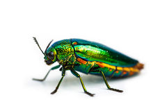 Closeup Jewel beetle Royalty Free Stock Photography