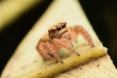 Closeup jumping Spider Royalty Free Stock Photos