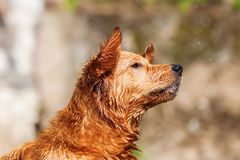 Closeup of a jumping wet golden retriever Royalty Free Stock Image