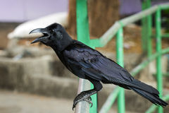 Closeup of a Jungle crow bird Stock Images