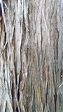 Closeup of a Juniper Tree Trunk. A detailed closeup of a juniper tree trunk and bark royalty free stock image