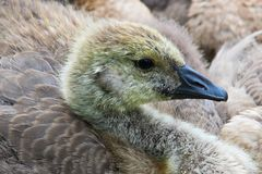 Closeup of a juvenile Canada Goose head starting to molt stock photos