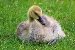 Closeup of a juvenile Canada Goose sitting in the grass stock photography