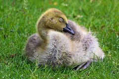 Closeup of a juvenile Canada Goose sleeping stock image