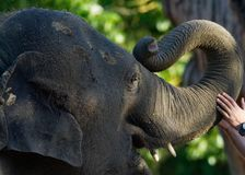 Closeup of juvenile elephant with trunk touched by hand. Of zookeeper with open mouth Royalty Free Stock Photo